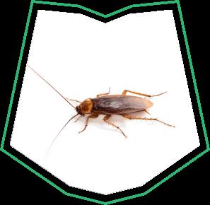 American Cockroach Removal Buckeye AZ