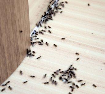 Ant Pest Control Company Buckeye AZ