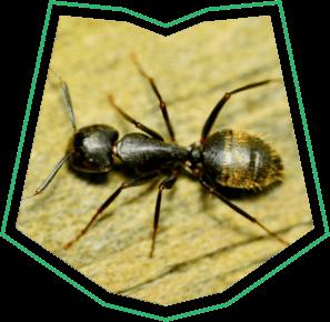 Carpenter Ants Pest Control Buckeye AZ