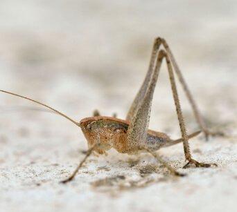 Crickets Pest Control Buckeye AZ