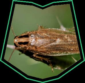 German Cockroaches Exterminator Buckeye AZ