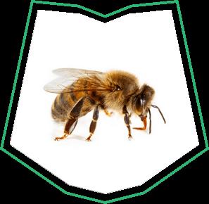 Honey Bee Removal Near Me Buckeye  AZ
