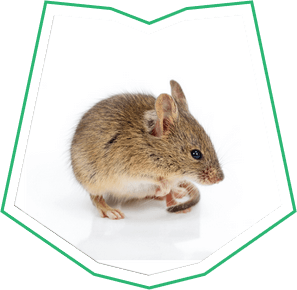 House Mouse Exterminator Buckeye AZ