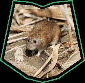 Norway Rat Control Buckeye AZ