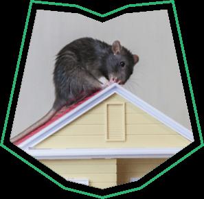 Roof Rat Removal Buckeye AZ