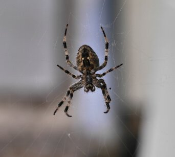 Spider Pest Control Buckeye AZ