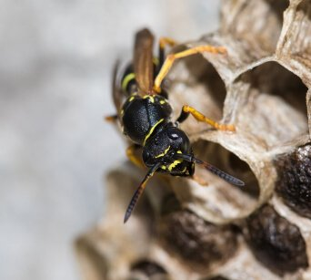 Wasp Pest Control Company Buckeye AZ