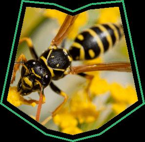 Yellowjacket Removal Buckeye  AZ