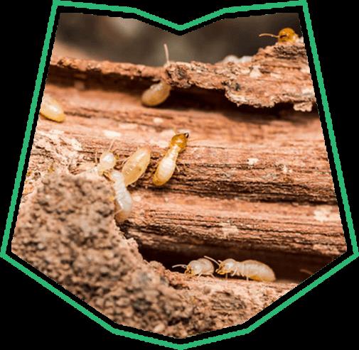 termite-control2